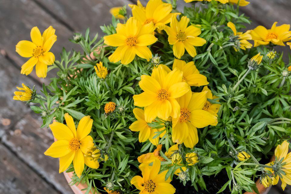 yellow bidens flowers