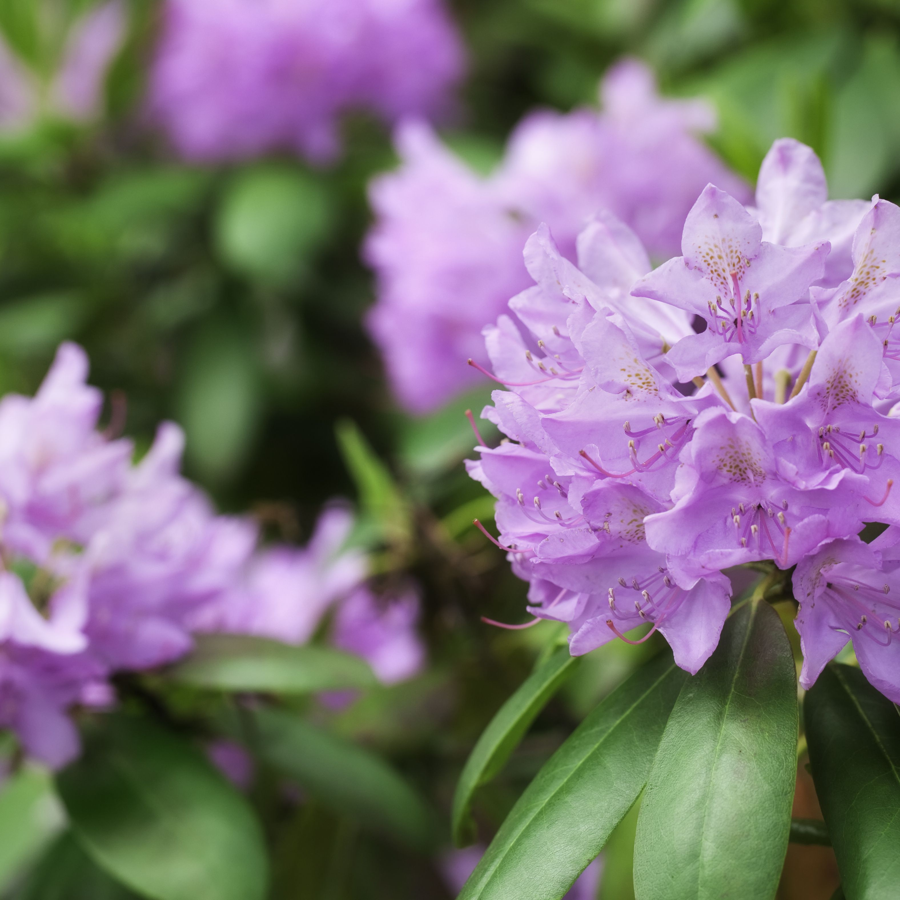 The Difference Between Rhododendrons And Azaleas