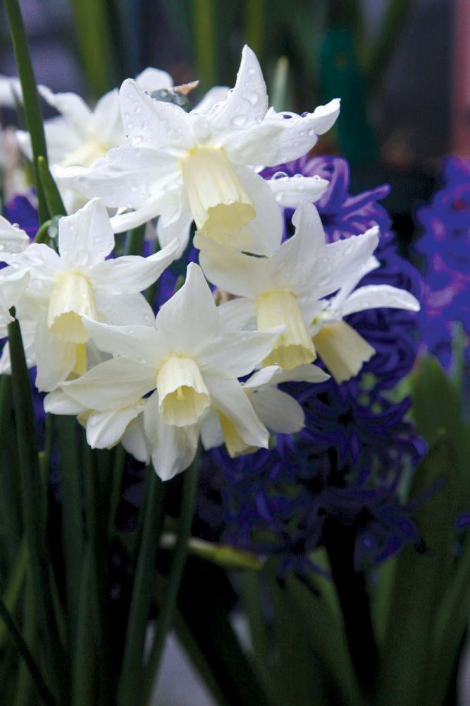 'Toto' daffodil with white petals and pale-yellow cups