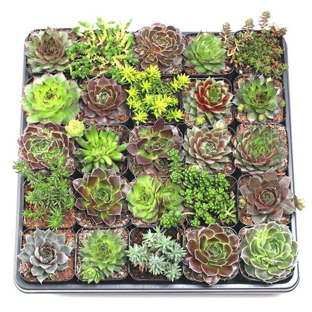 Hardy Succulent Tray
