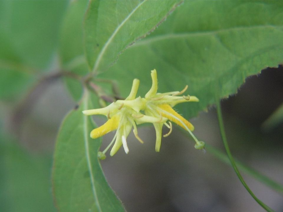 Close up of flower on a Northern Bush Honeysuckle