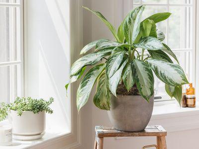 houseplant receiving sunlight by a window
