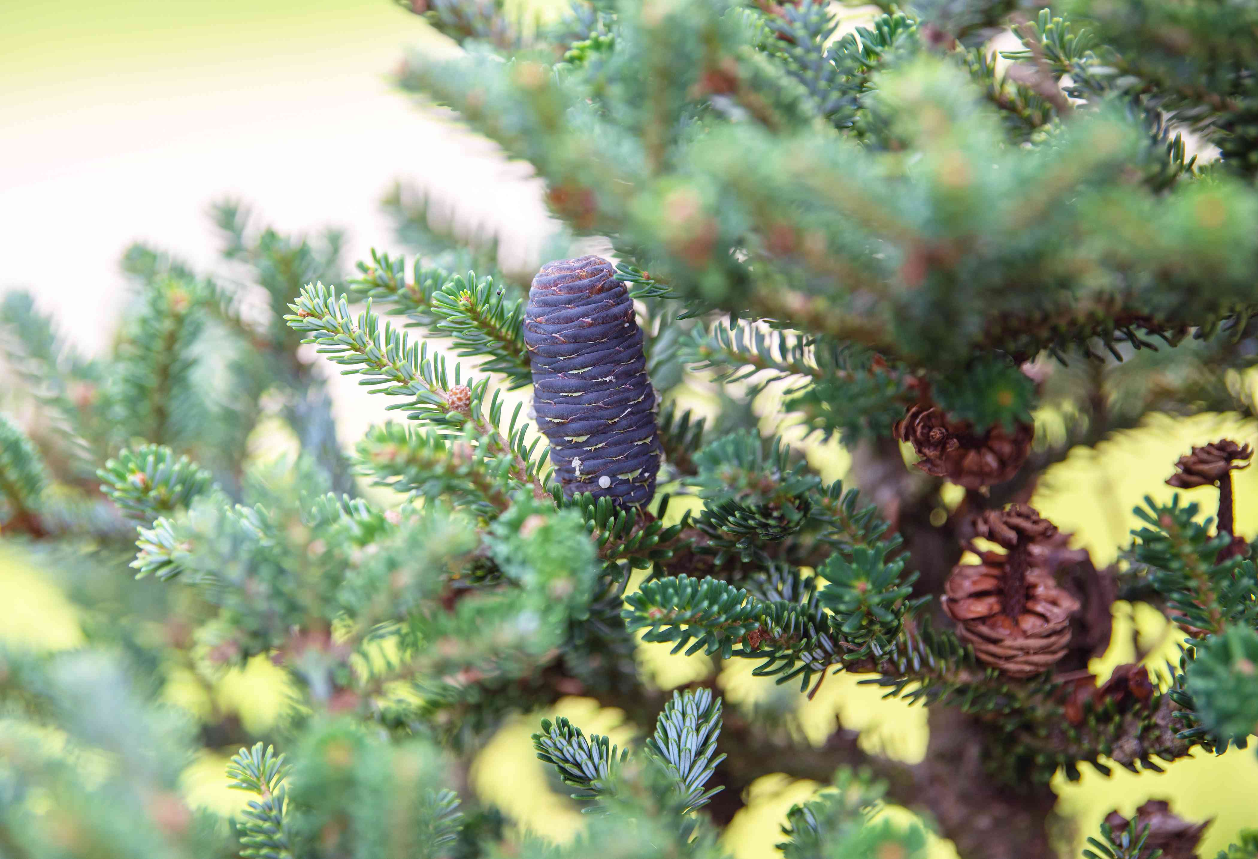 Korean fir tree branches with short and broad needles and purple in middle