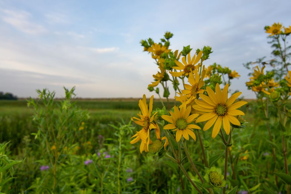 Compass Plant growing in a meadow