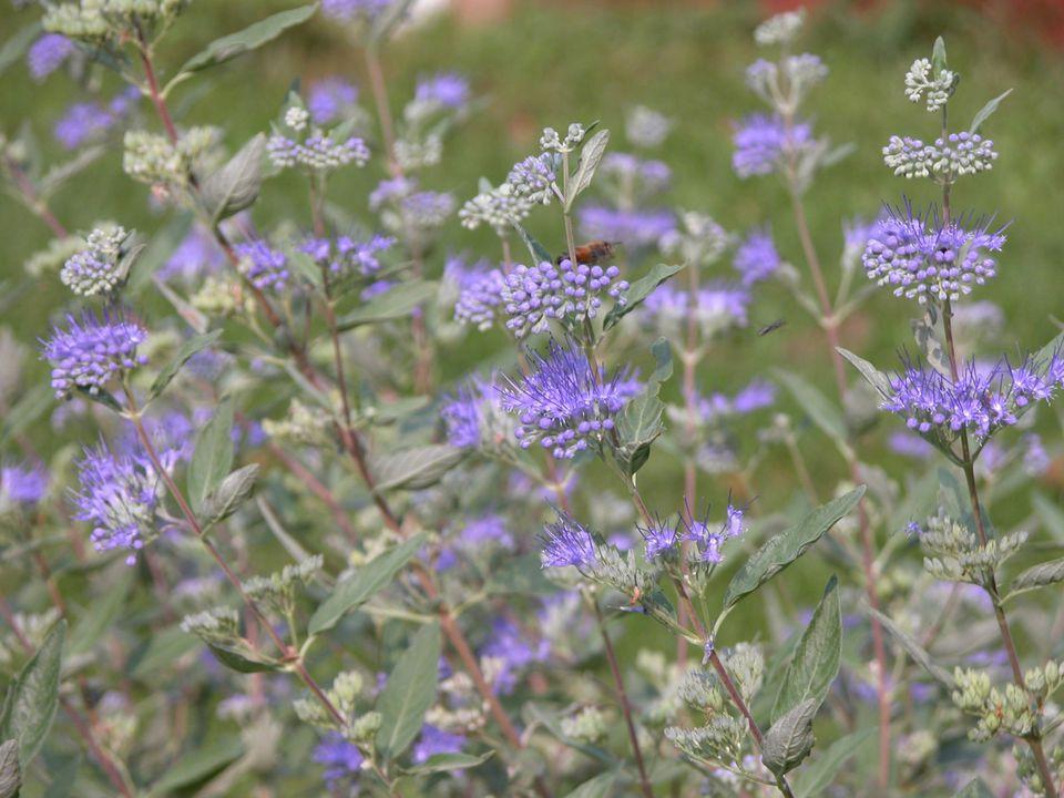 caryopteris blue mist shrub