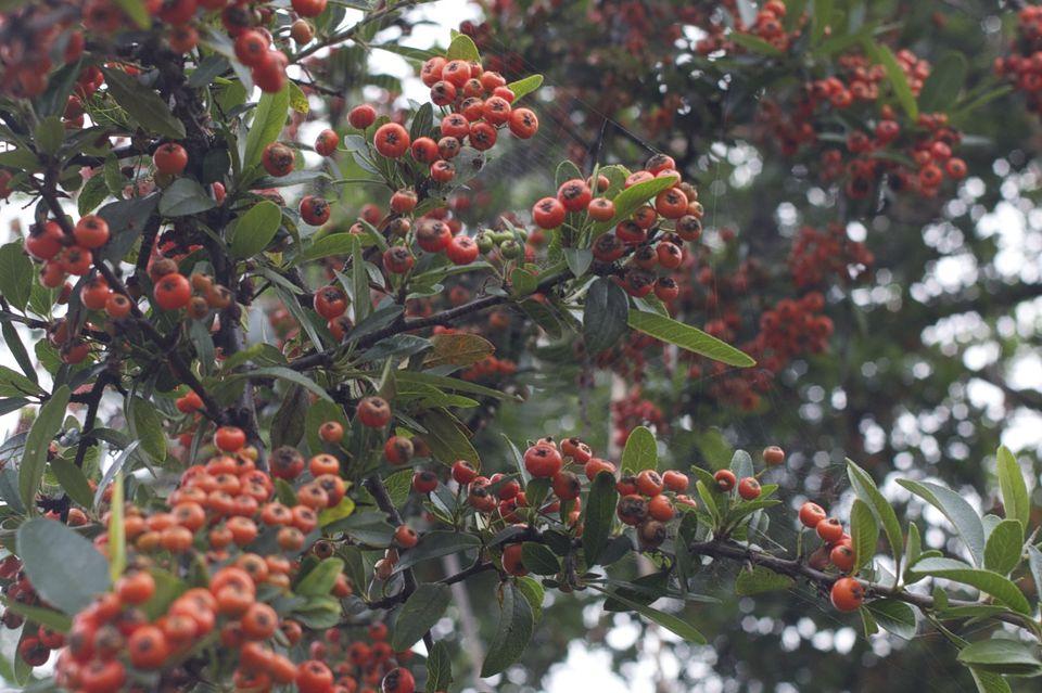 Firethorn (Pyrocanthus)