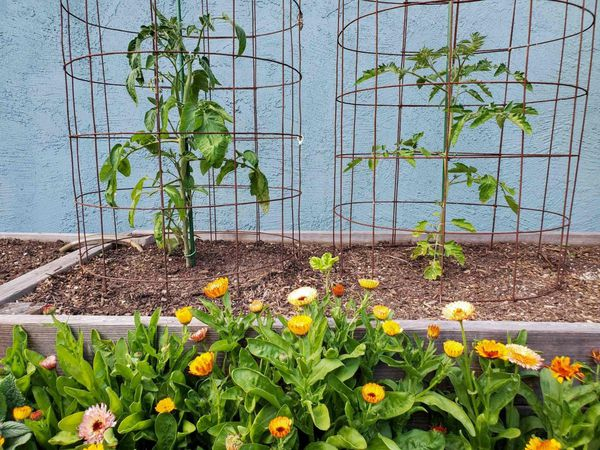 Two tomato cages