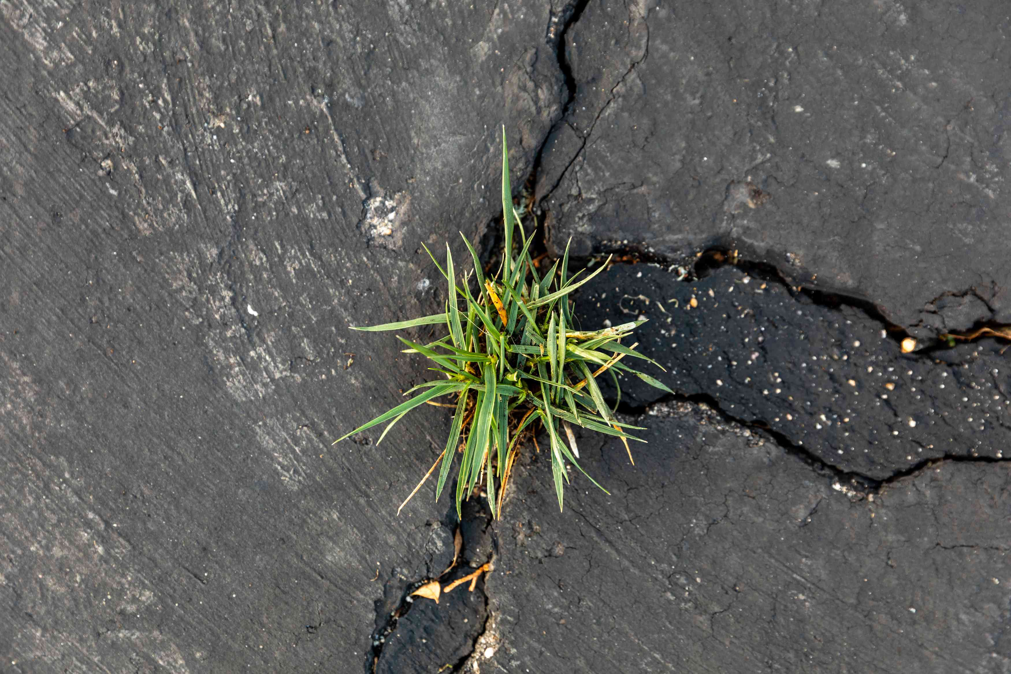 Grass growing through black sidewalk crack from above