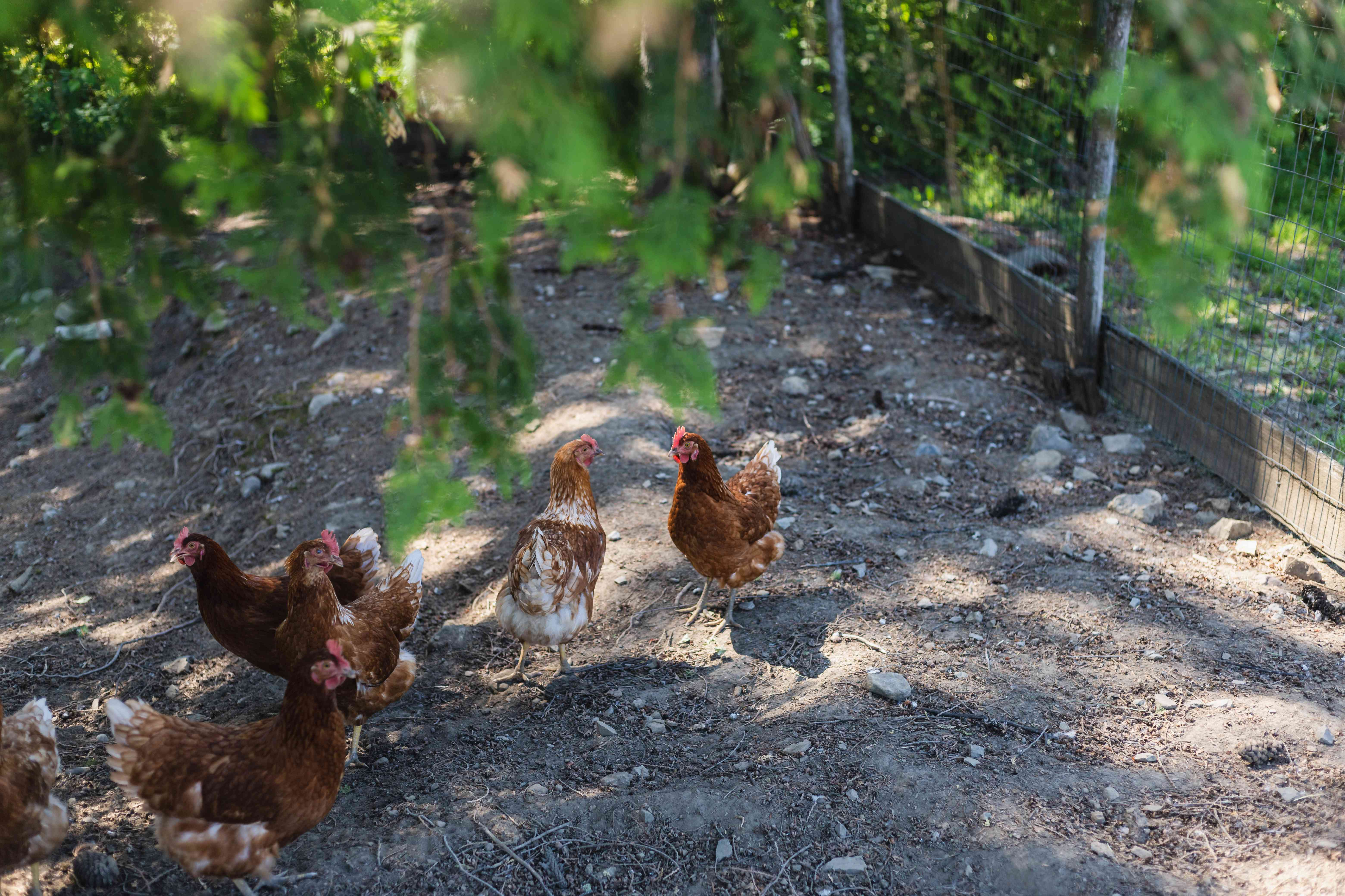 Homesteading with outdoor chicken coop and hens running around