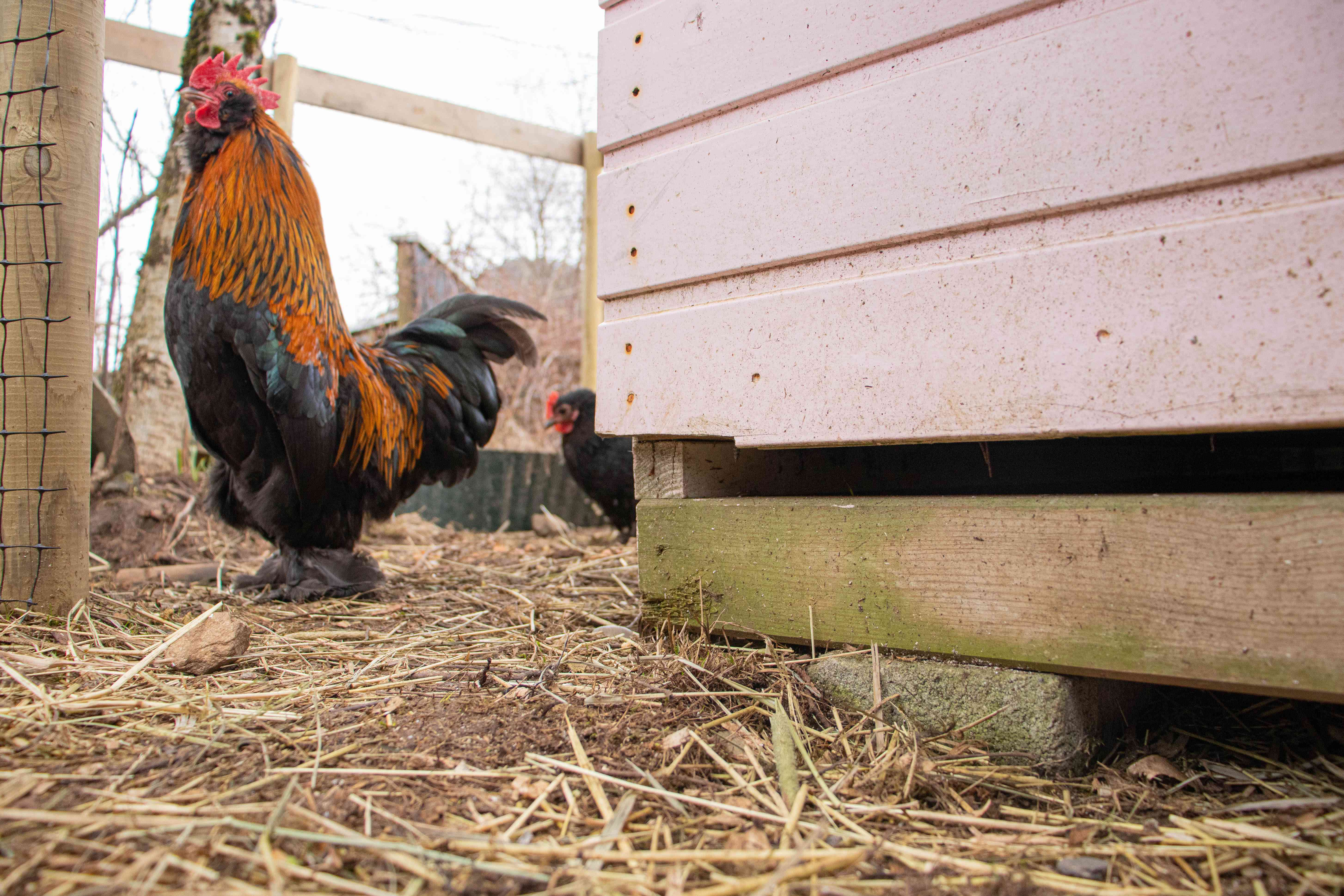 Chicken coop elevated from the ground to prevent predators