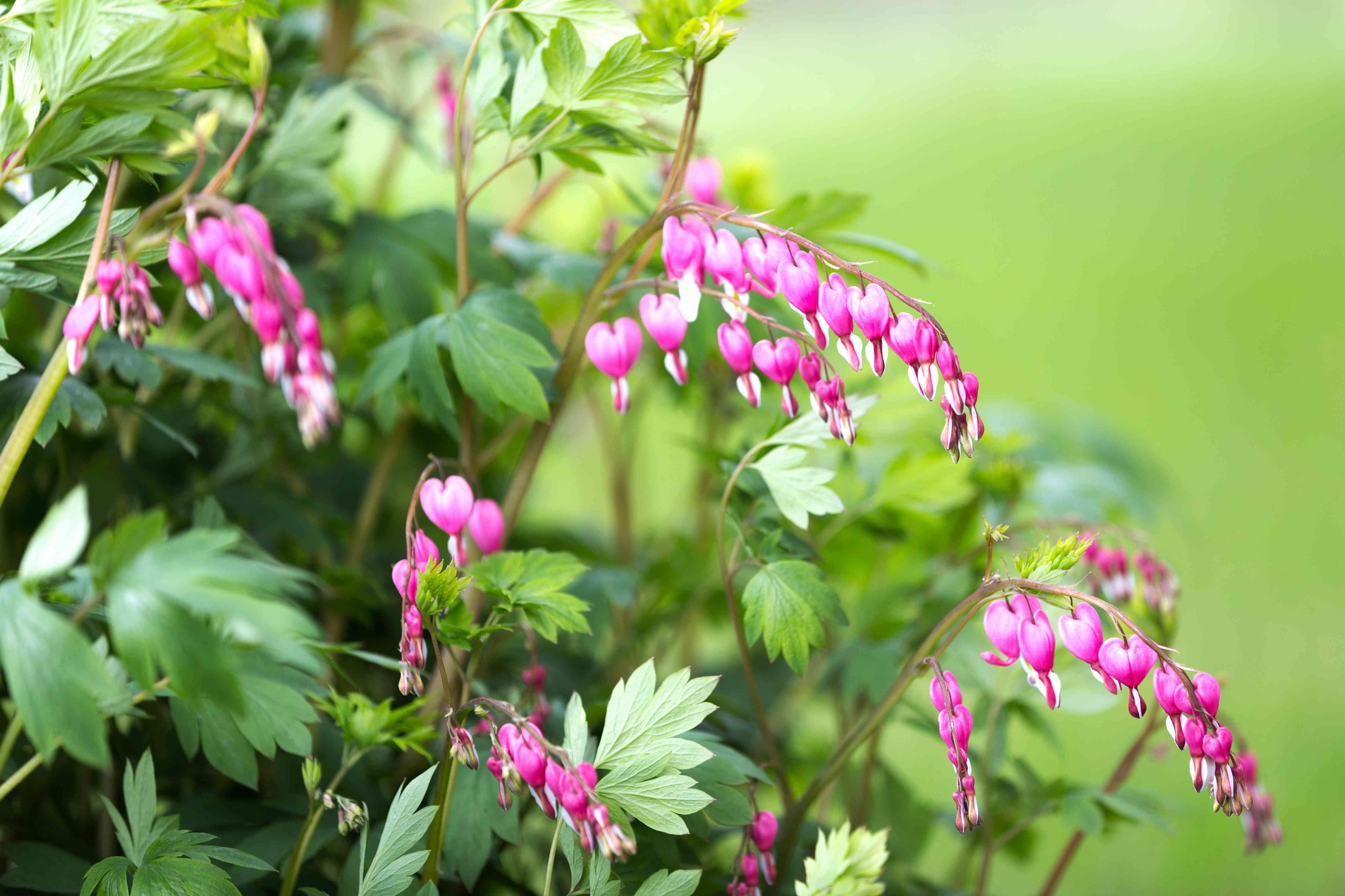 Bleeding Heart Flowers in Springtime