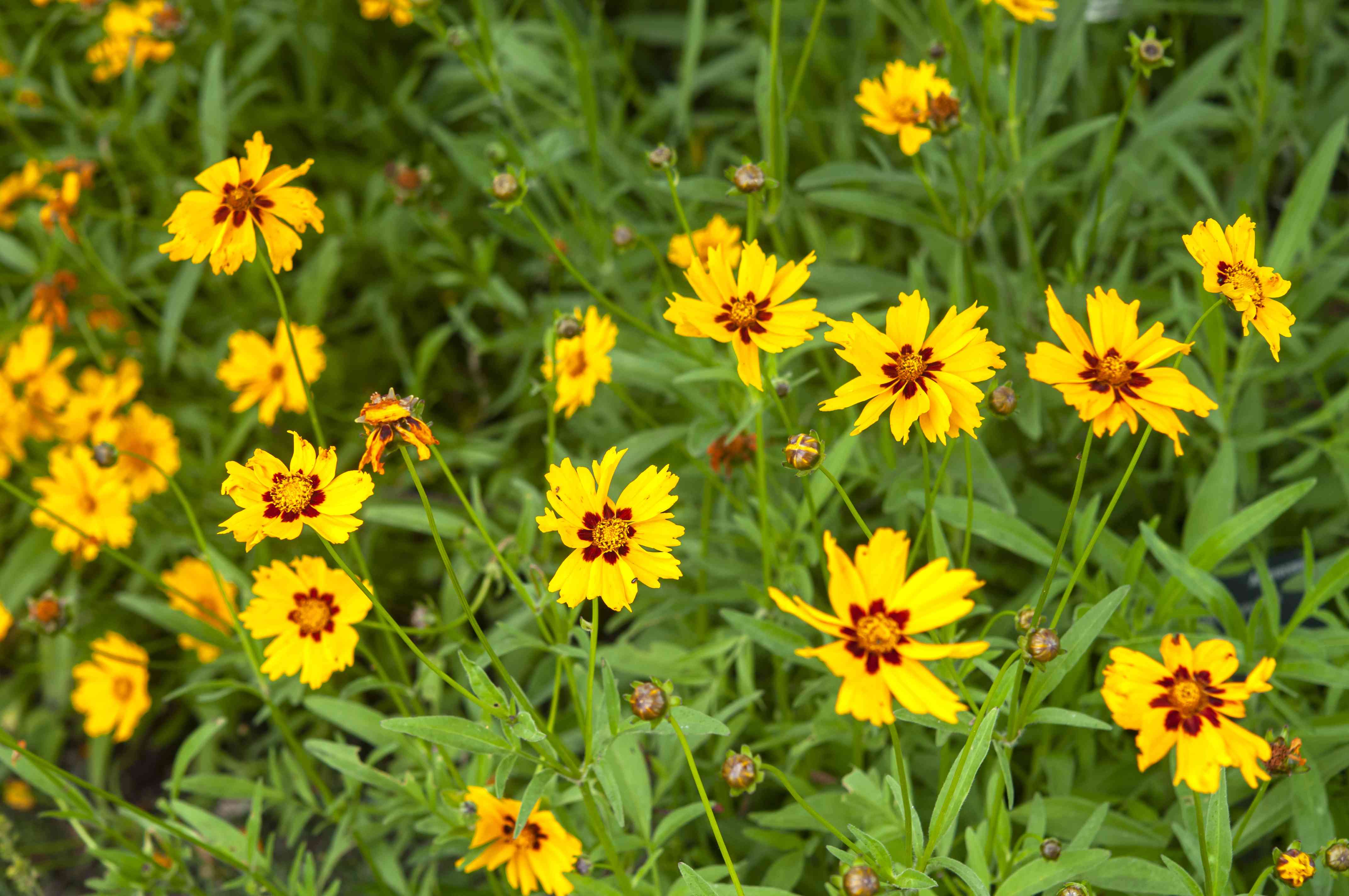 Heliot coreopsis flowers with yellow petals with red centers from above