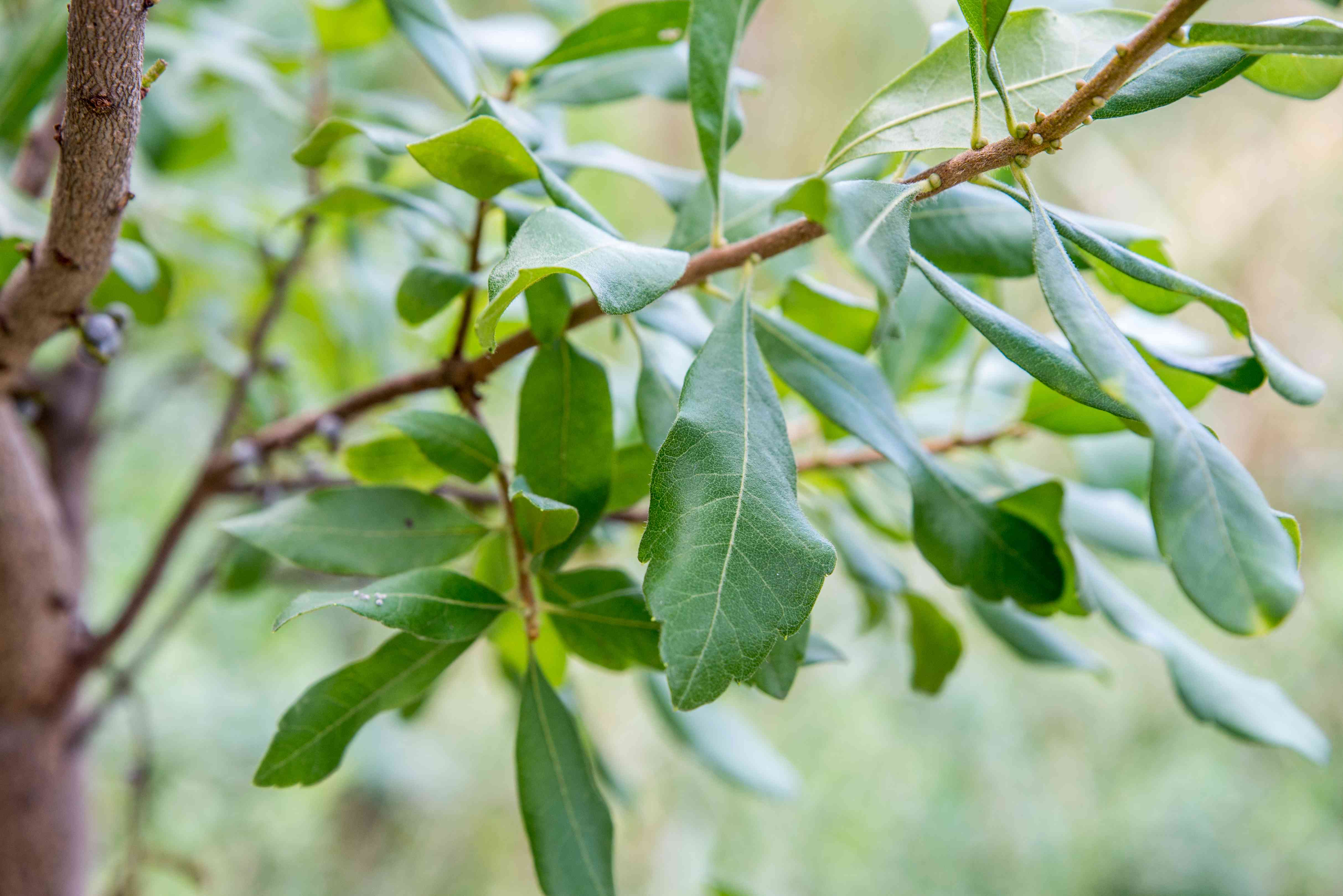 closeup of bayberry leaves