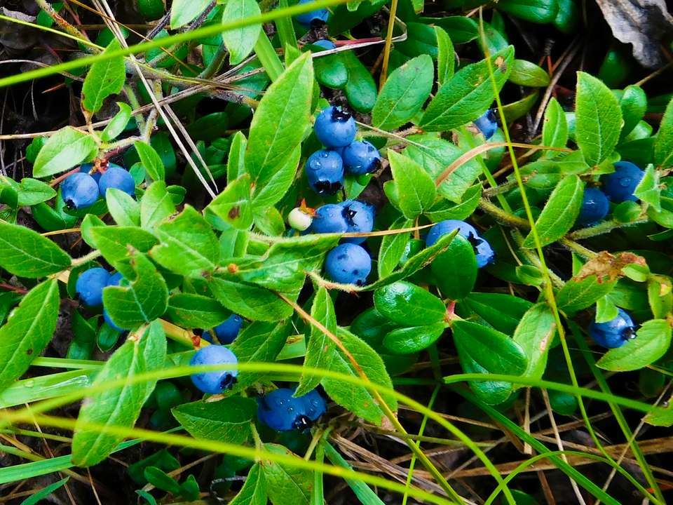 Lowbush Blueberries growing in the wild