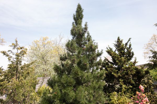 Umbrella pine tree top in a pyramid shape with short needled branches