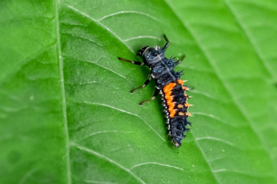Black and orange lady beetle larvae on leaf closeup