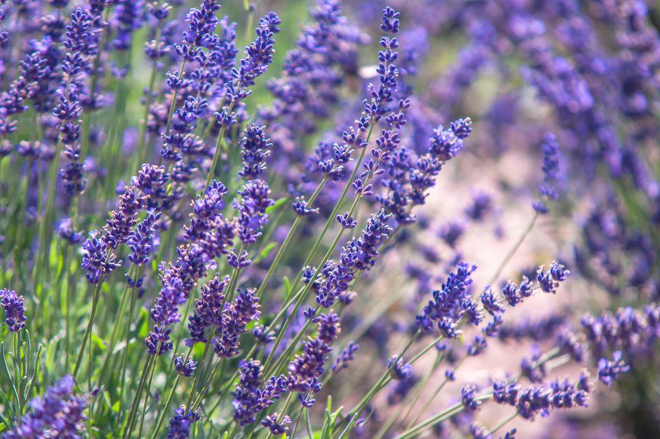 Lavender plant in english garden closeup