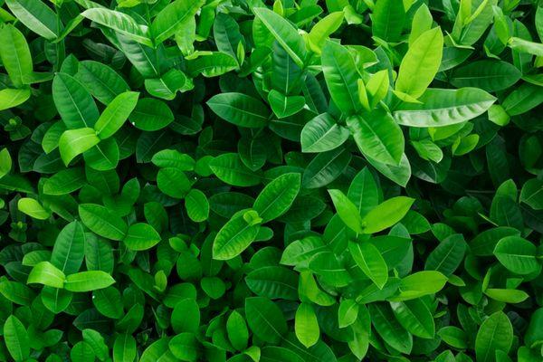 Leaf formations