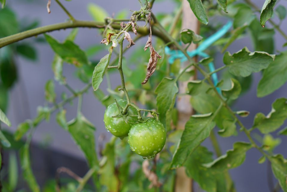 Fusarium wilt on leaves with green tomatoes hanging