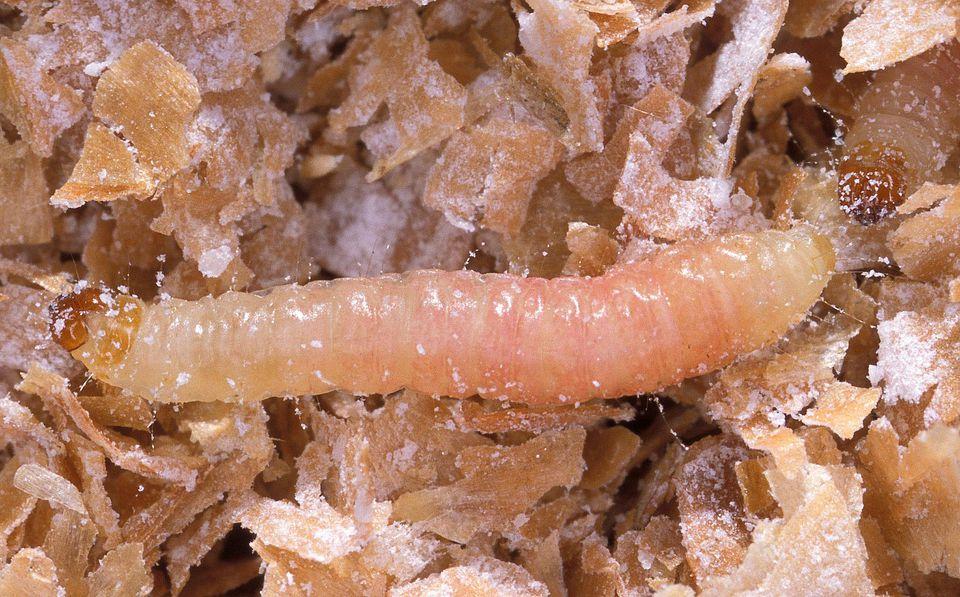 Moth Larva