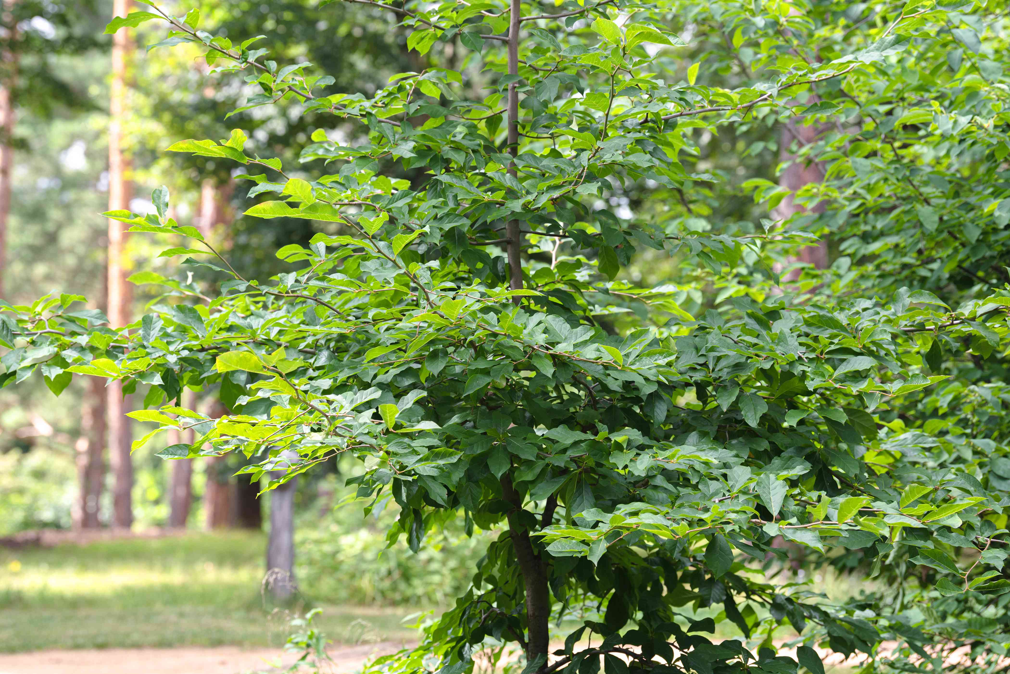Black gum tree with long branches and glossy green leaves in wooded area