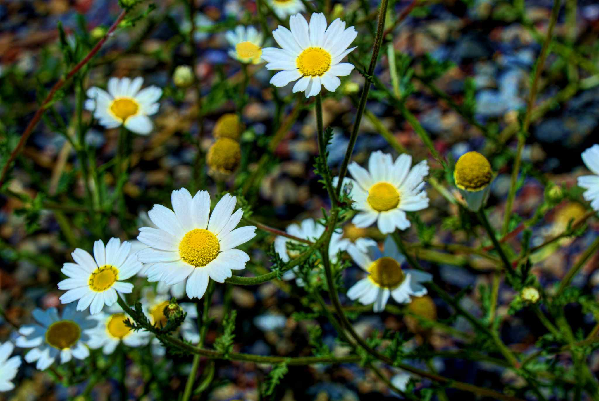 13 plants with daisy like flowers chamomile izmirmasajfo