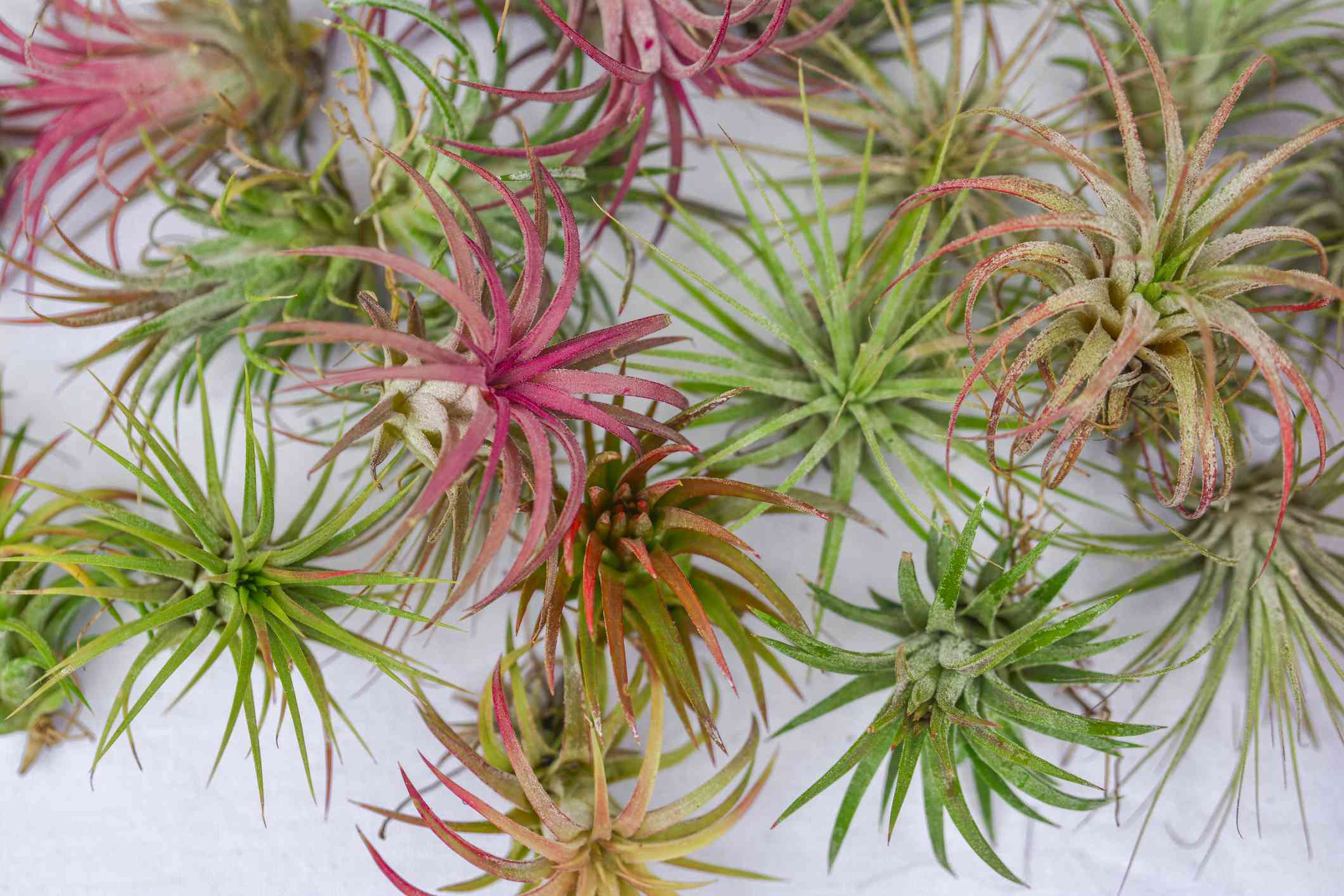 Brachycaulos air plants in shades of green, pink, and orange