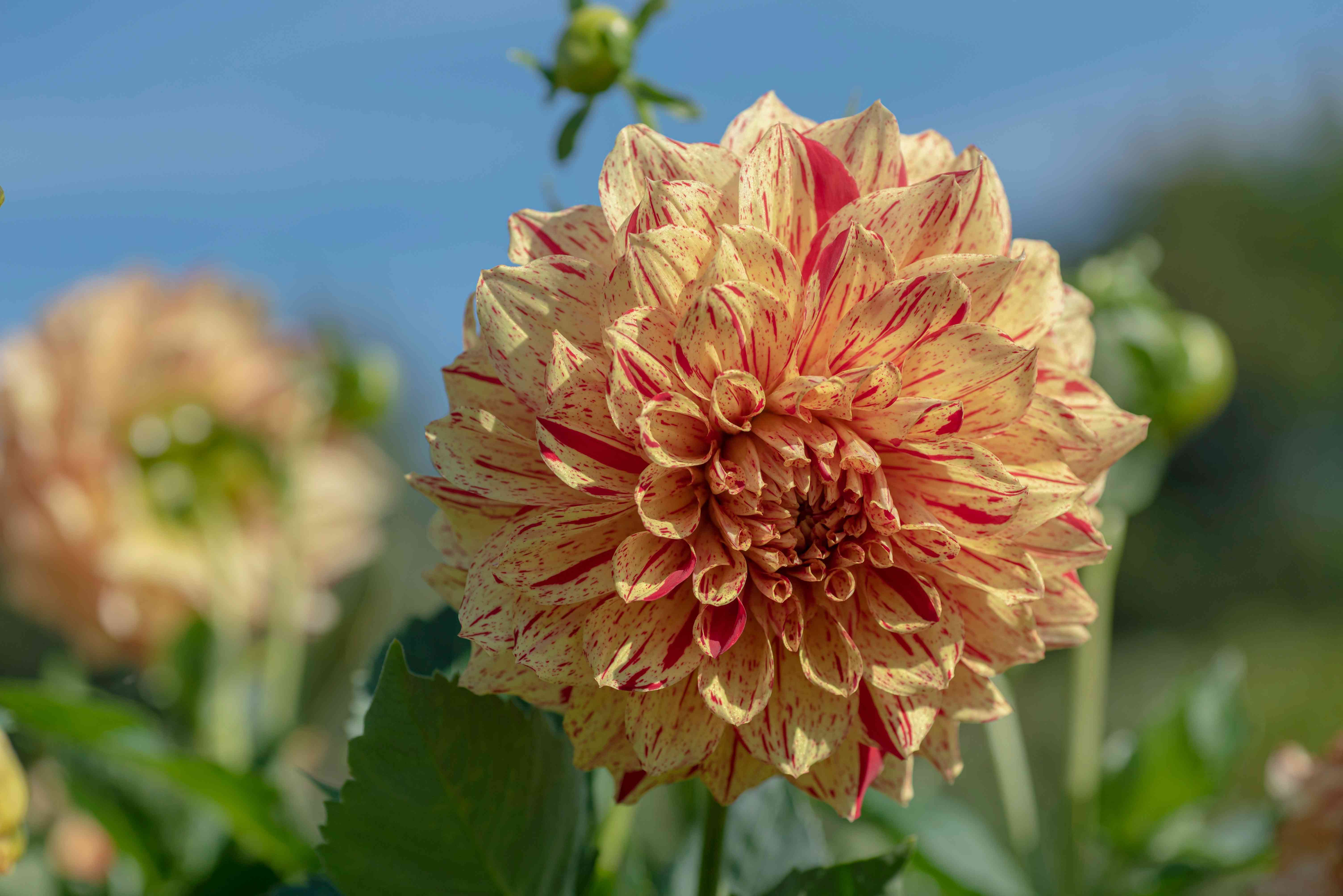 Dahlia gloriosa plant with yellow and red splattered petals closeup