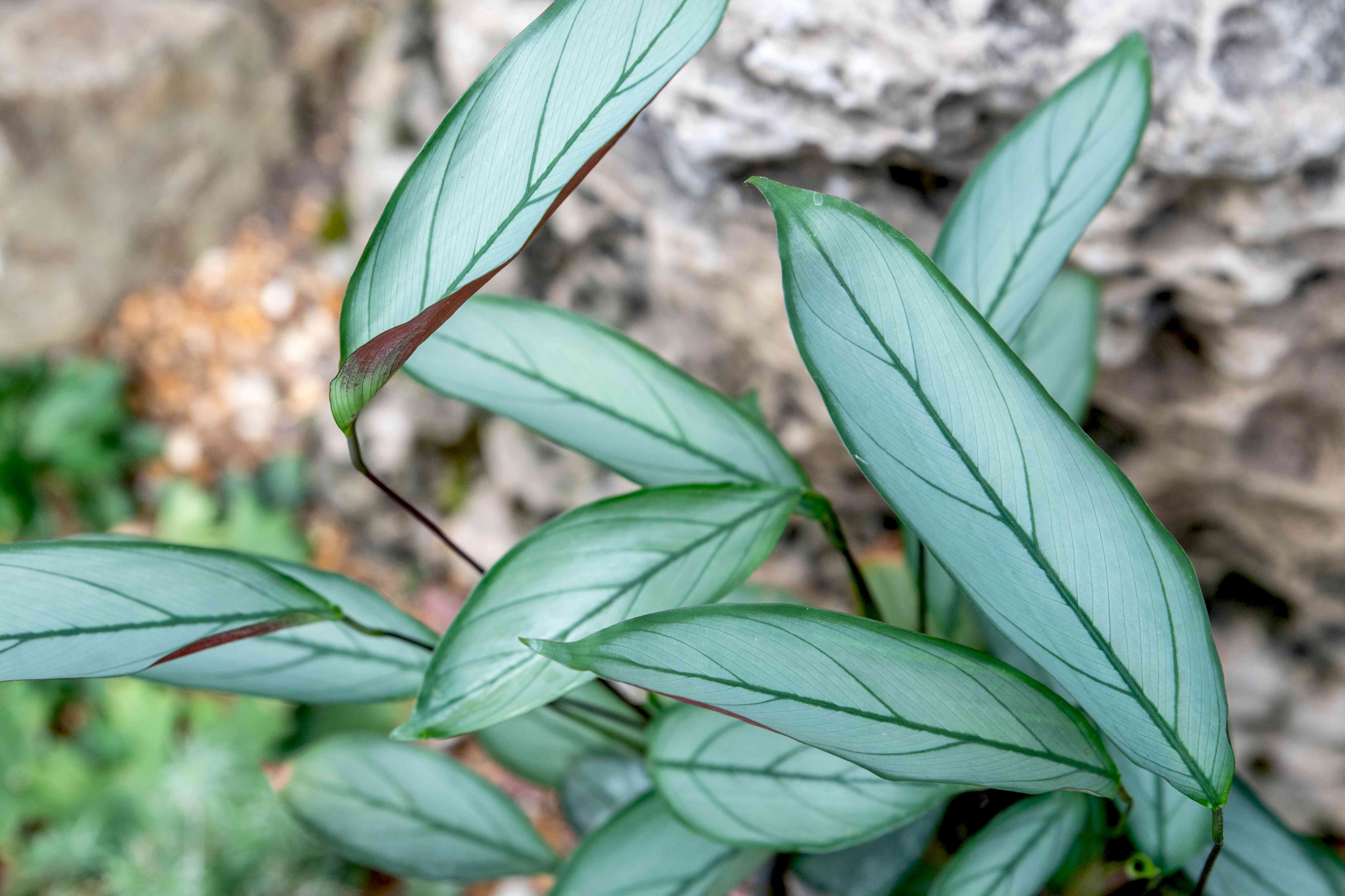Ctenanthe setosa grey star plant with silvery-green oblong leaves closeup