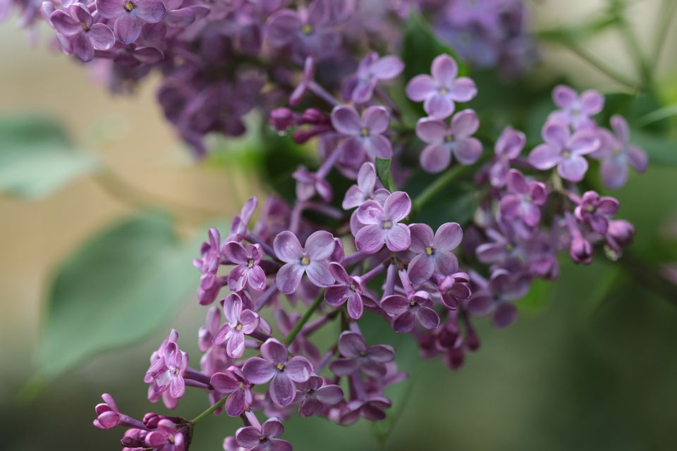 common lilac (Syringa vulgaris)