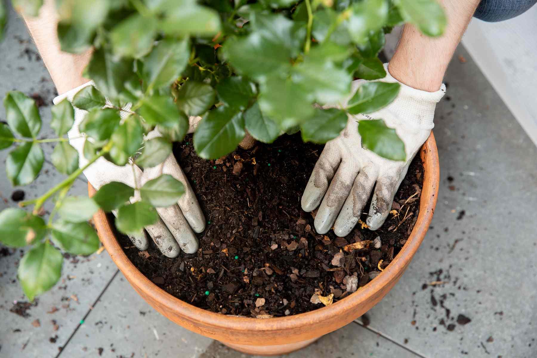 Freshly prepared potting soil covering repotted rose bush