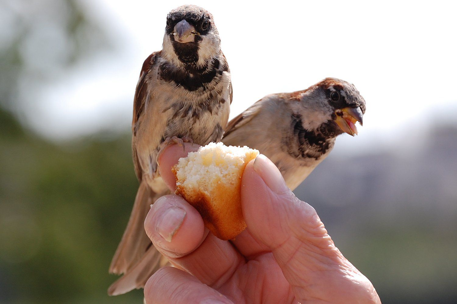 House Sparrows Eating Bread