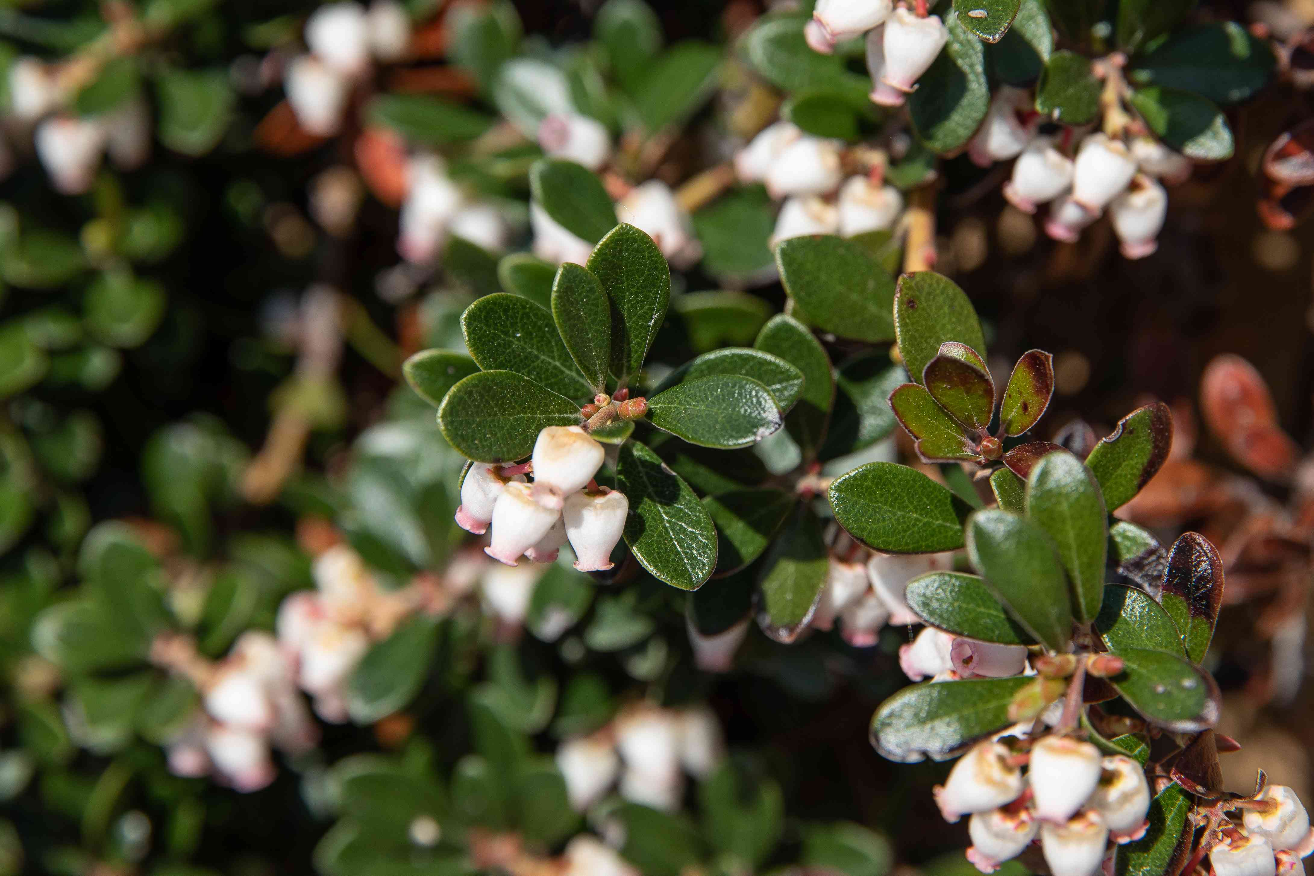 Bearberry sub-shrub branches with dark green leaves and small white bell-shaped flowers in sunlight closeup