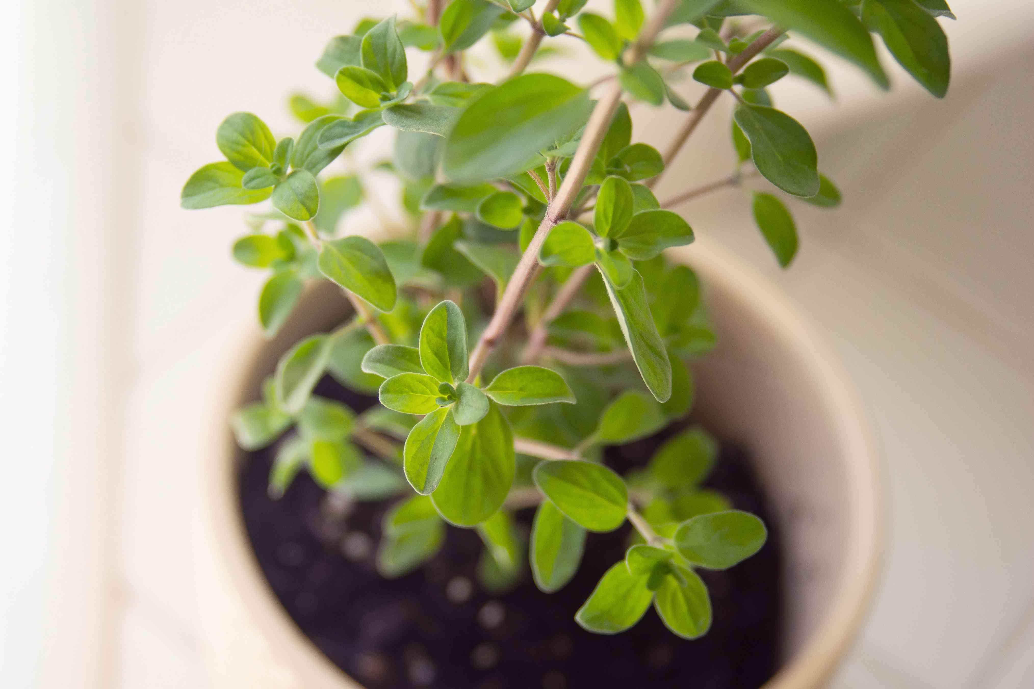 Sweet marjoram herb plant in cream colored pot closeup