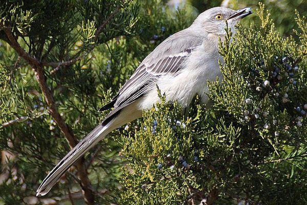 Northern Mockingbird in Juniper