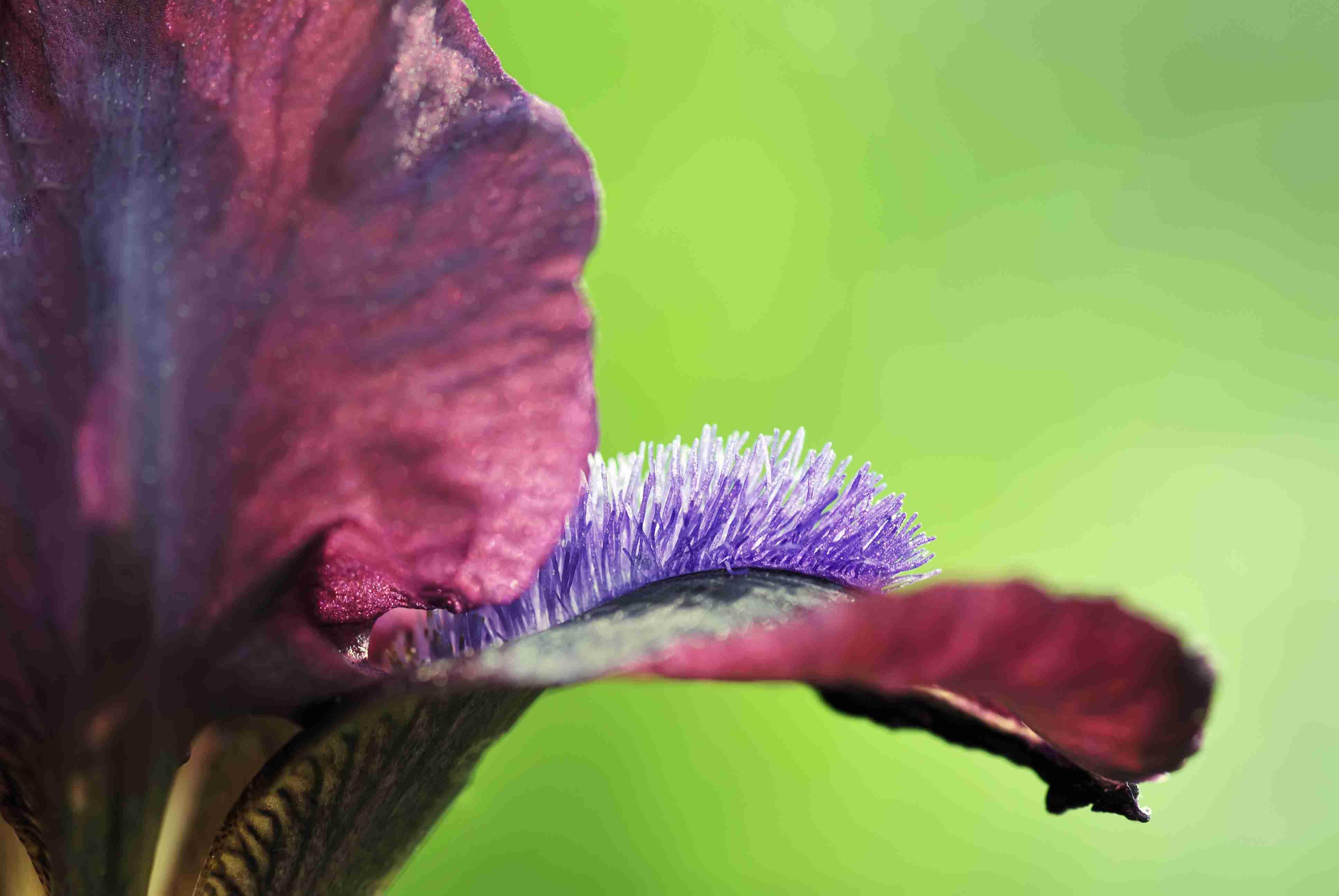 7 Irises For The Flower Garden