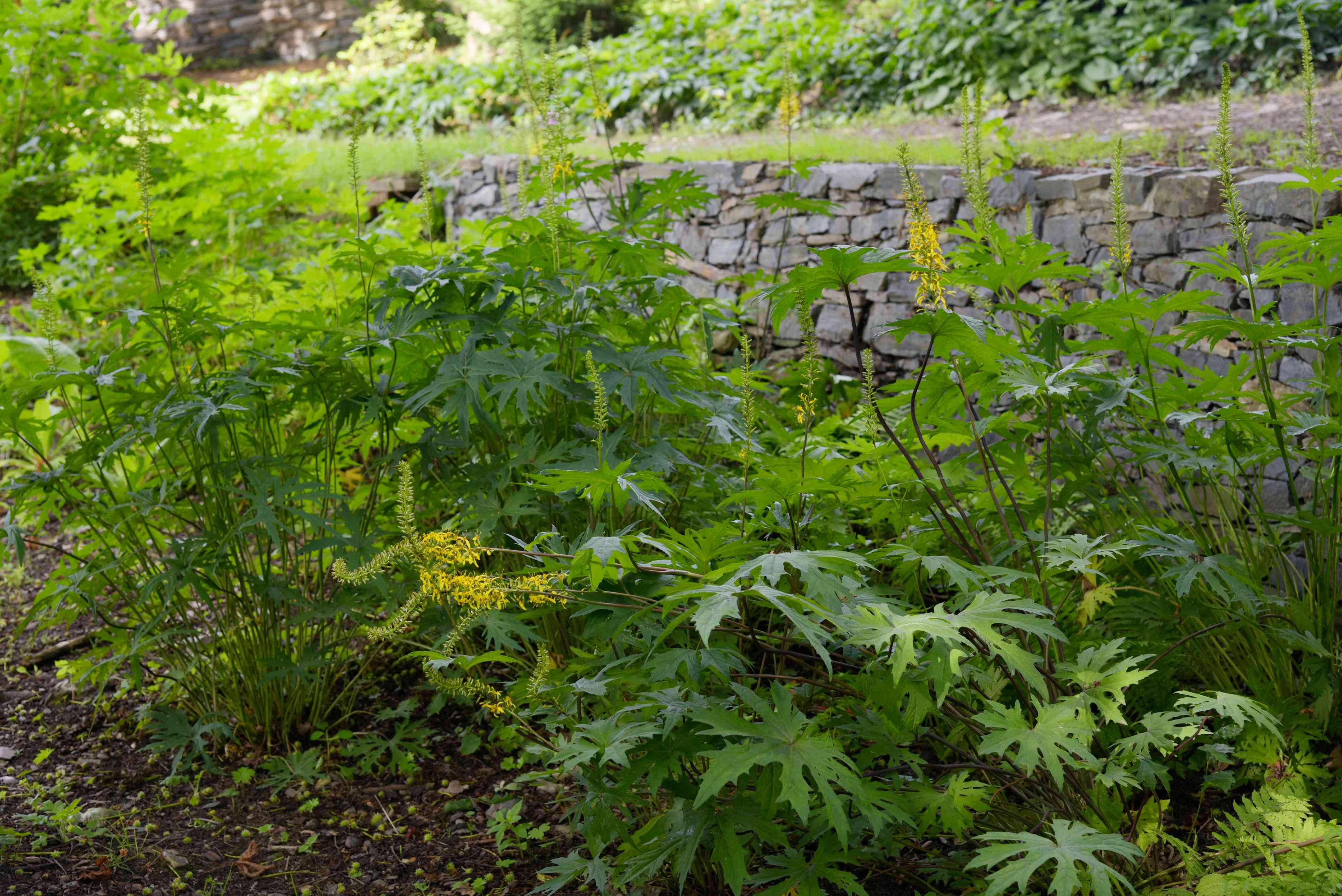 Leopard 'The Rocket' plant with small golden flower clusters surrounded by deep-green serrated foliage