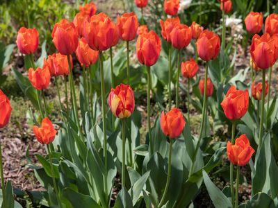 Orange tulip bulbs blooming in spring