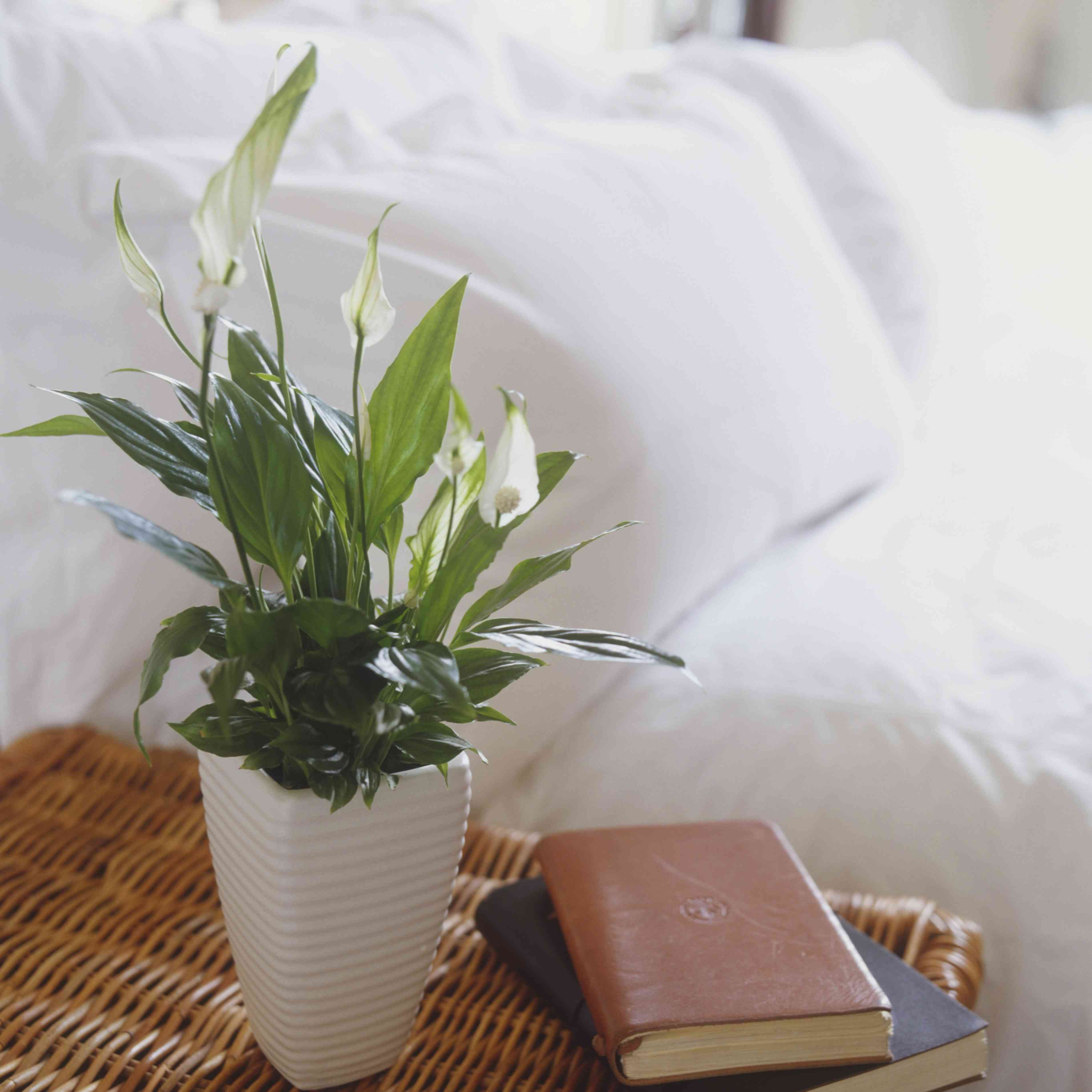 Potted peace lily on a bedroom side table