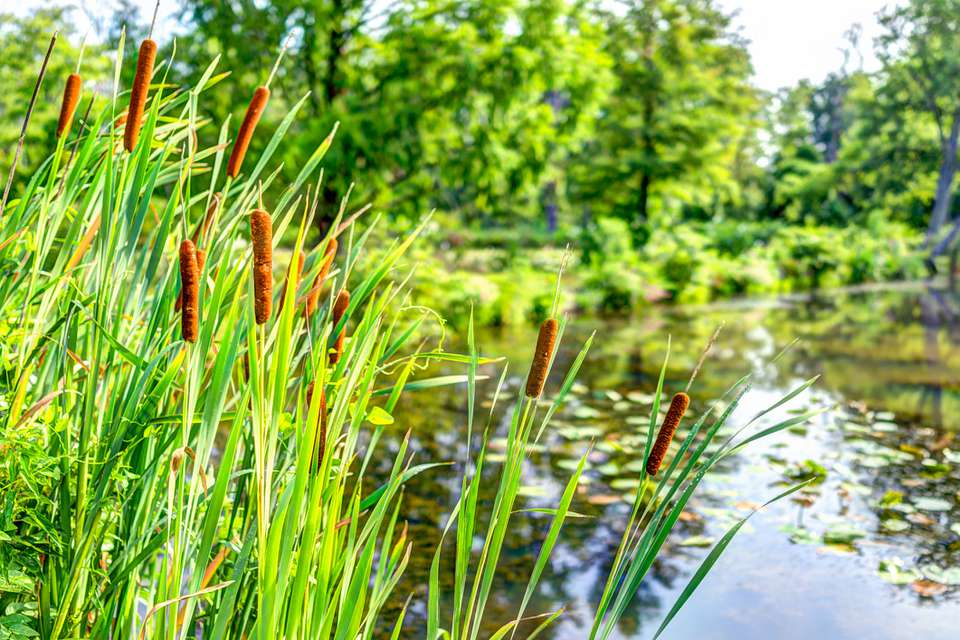 Cattail plants beside a pond