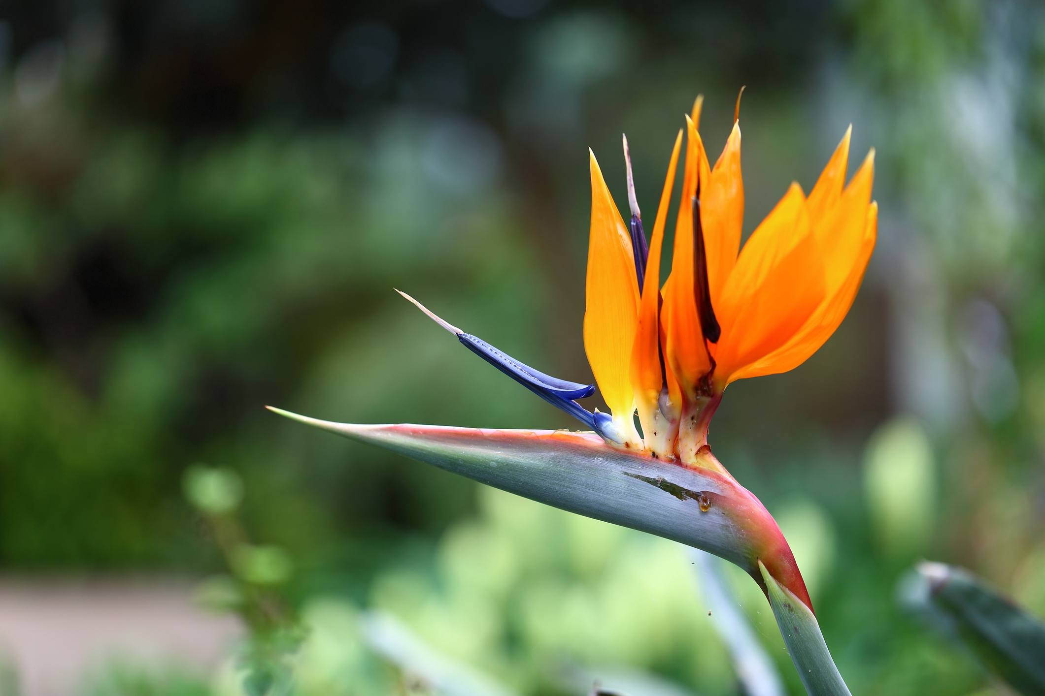 Bird of paradise flower.