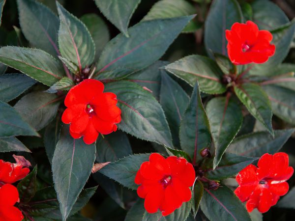 SunPatiens plant with rounded bright red flowers surrounded by dark green pointed leaves