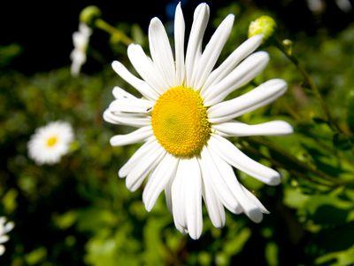 Nippon Daisy: A Great Late-Season Flower