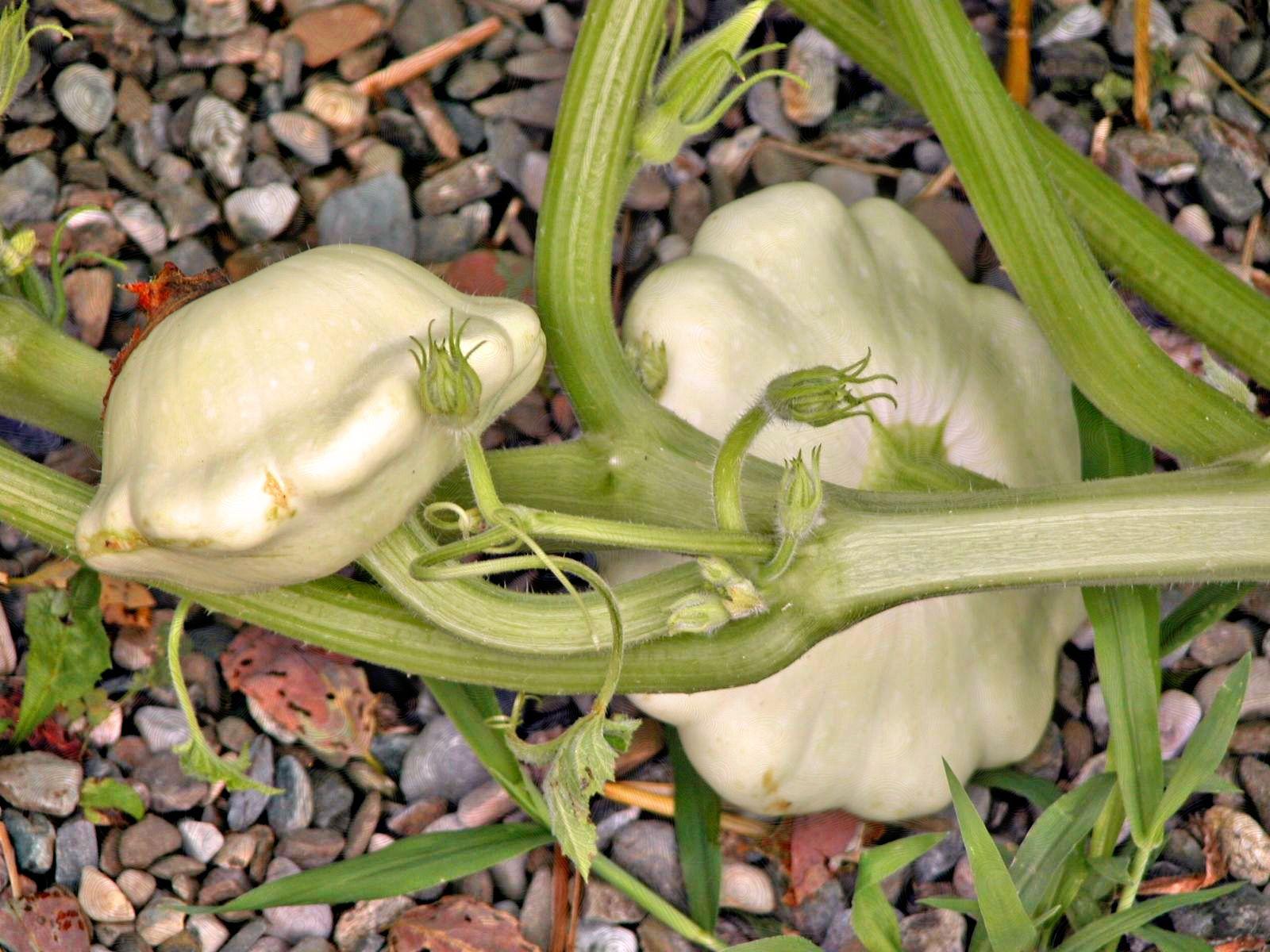 How To Grow Patty Pan Squash