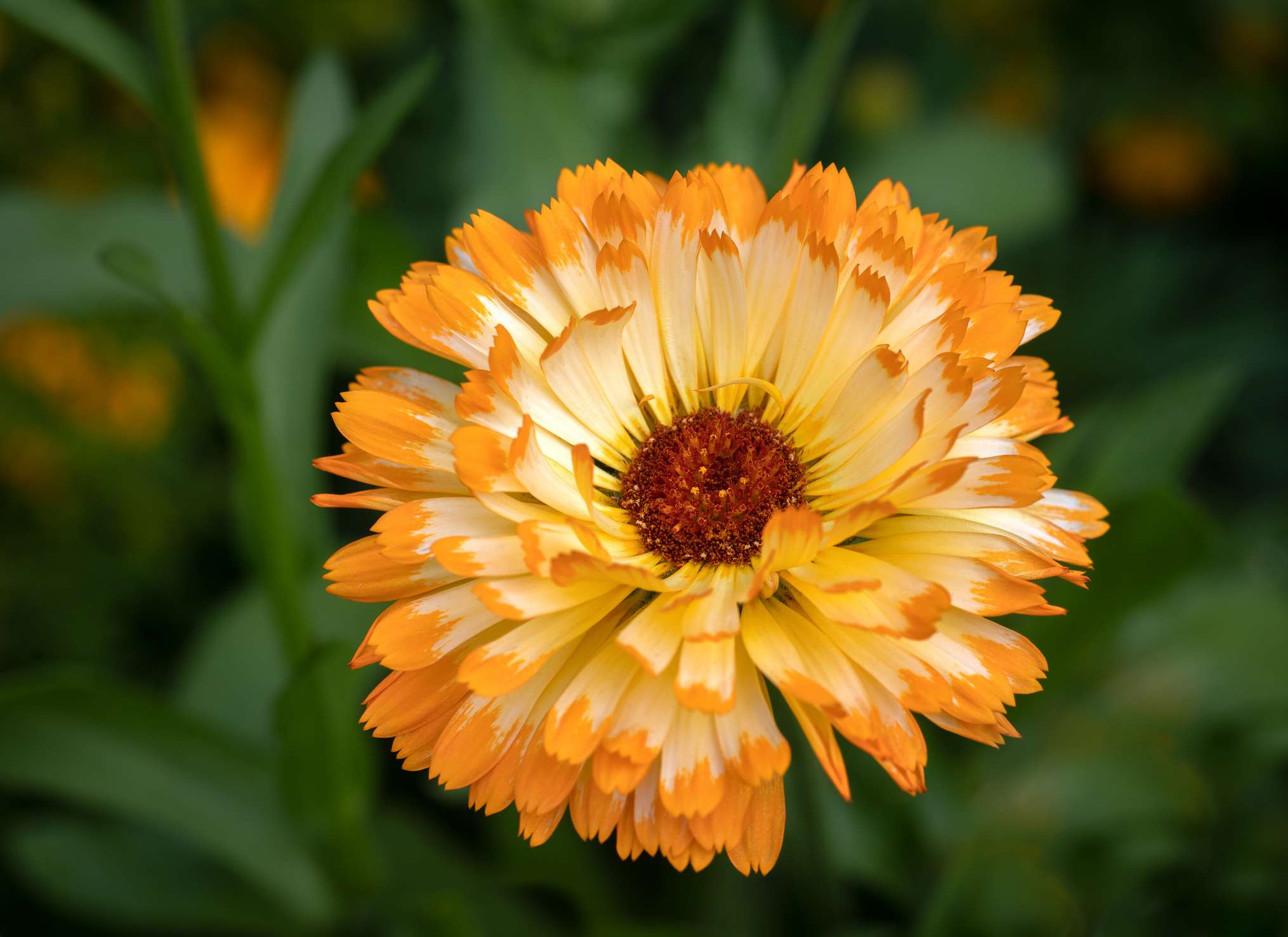Close up image of a single Marigold Flower in full bloom - Calendula officinalis