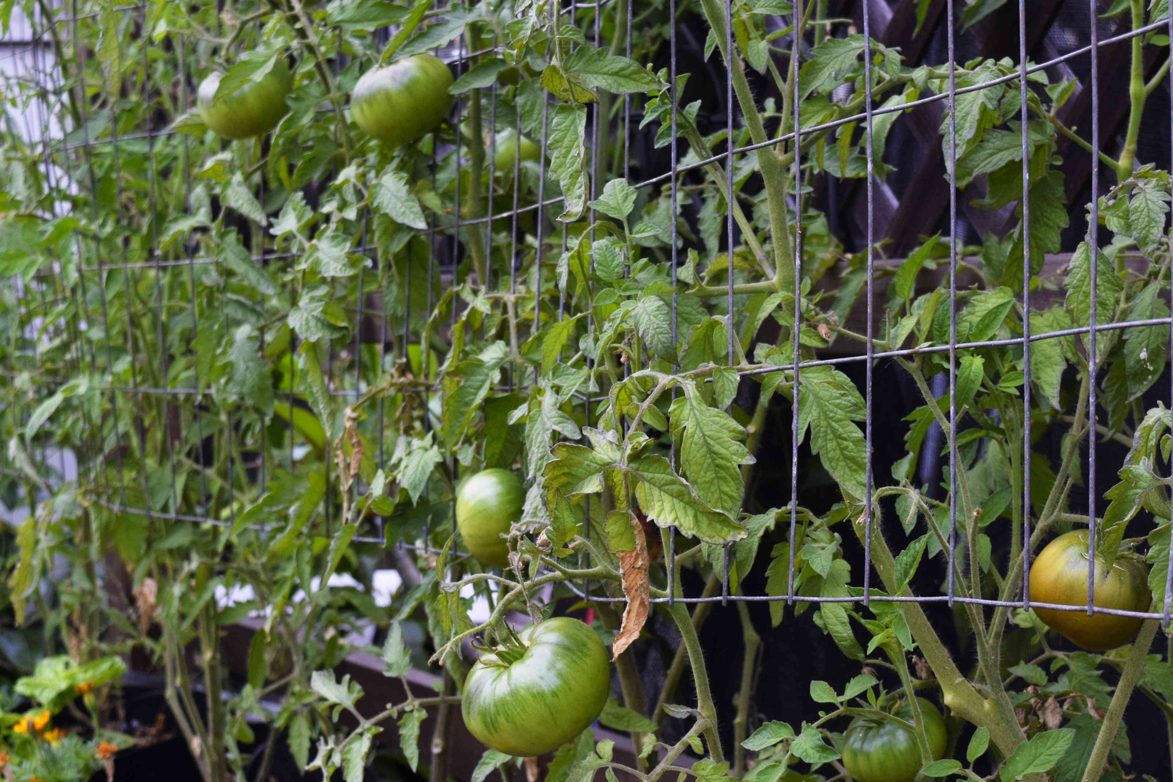 Tomato plant vines hanging from metal cage with green tomatoes hanging