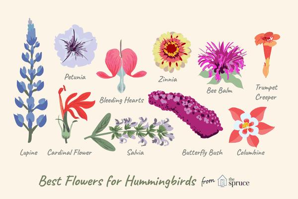 illustration of hummingbird-attracting flowers