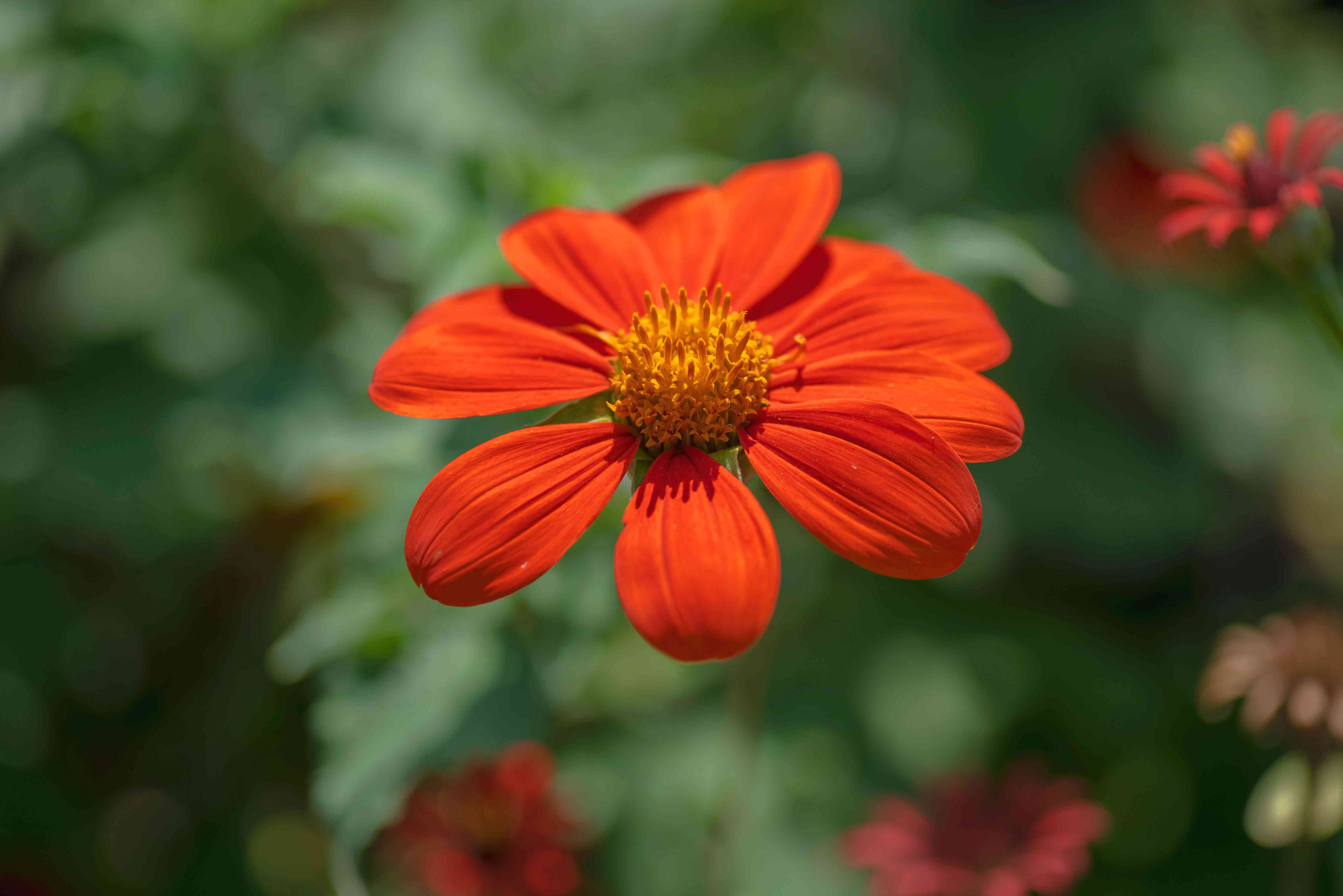 Mexican flower with bright orange colored petals in garden closeup