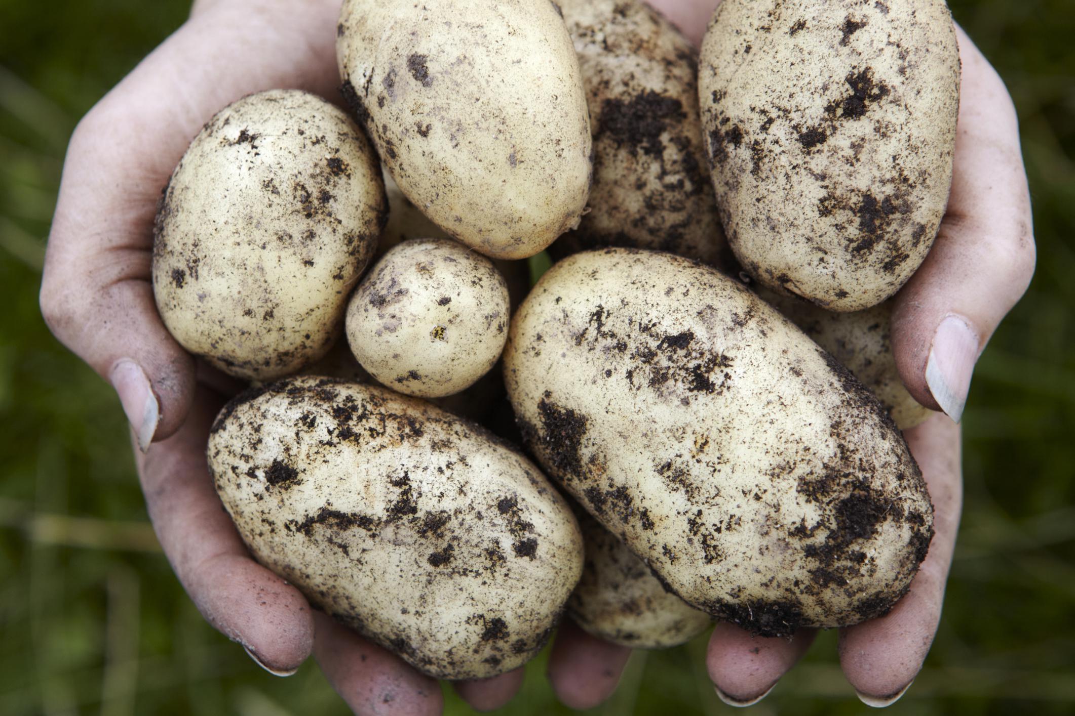 Growing Potatoes in the Home Garden