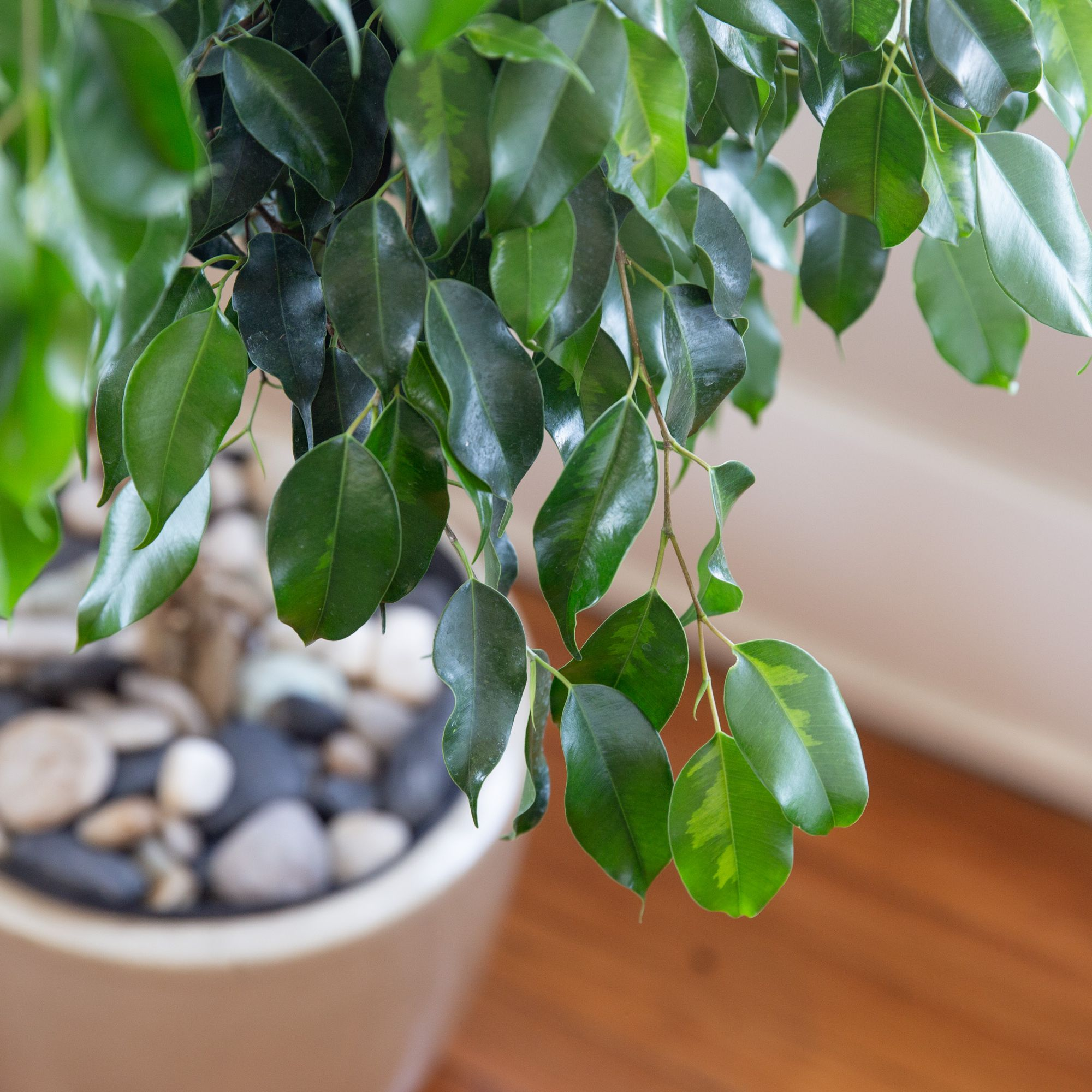 How To Grow And Care For A Ficus Tree